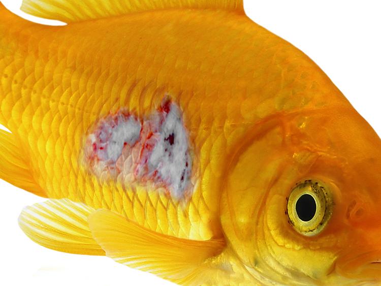 How to treat internal bacteria in aquarium fish pond for Tropical fish diseases