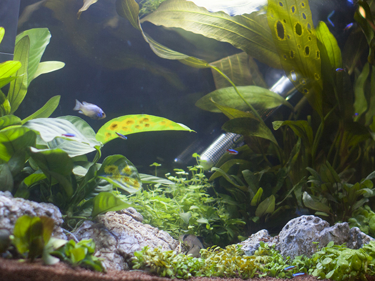 Close up of aquarium plant leaves with holes, ragged edges, yellow spots and rotting sections