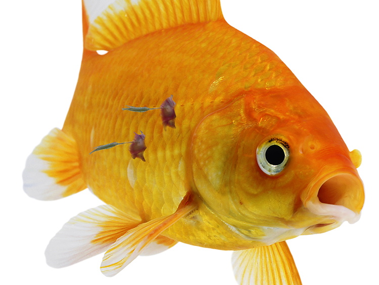 the treatment on goldfish