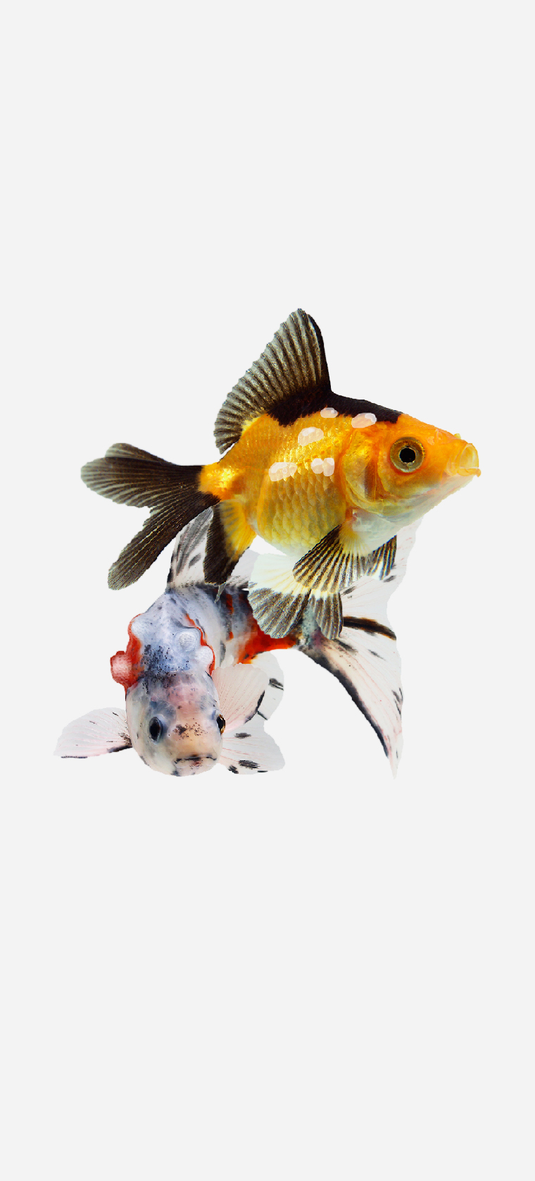 Two species of Goldfish, one with opaque waxy lumps over it