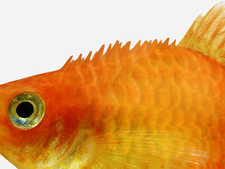 How To Treat Internal Bacteria In Aquarium Fish Pond Aquarium Problem Solver
