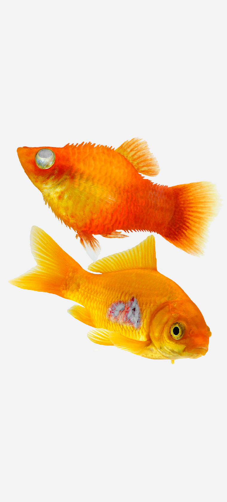 Two orange aquarium fish. One with a swollen grey eye and body swollen to resemble a porcupine. The other with an open sore ulcer