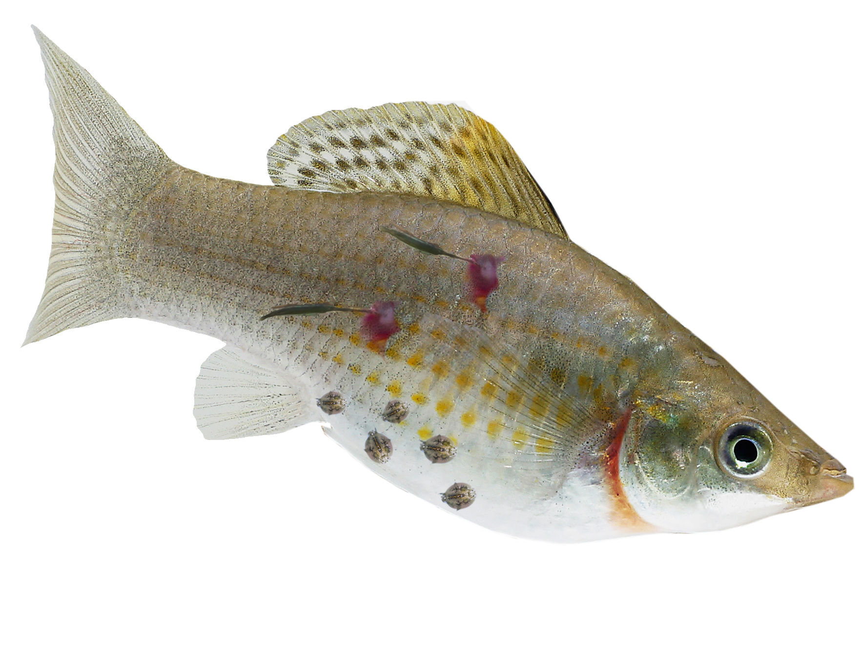 Silver tropical aquarium fish with reddened gills, round lice and small hanging worms attached to body.