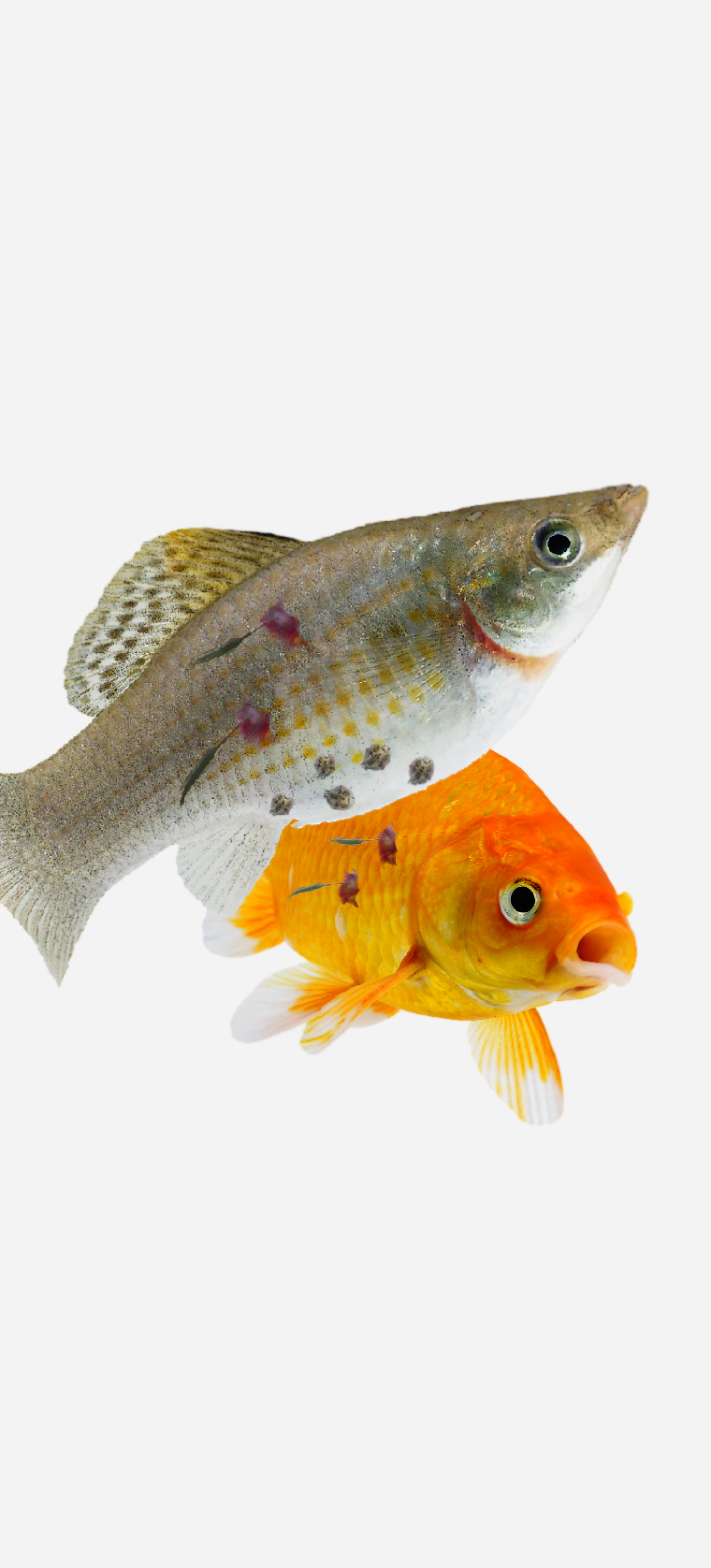Silver tropical aquarium fish with reddened gills, round lice and small hanging worms attached to body. Goldfish with small hanging worms attached to the body
