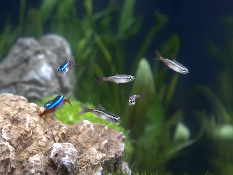 Six blue and red tropical aquarium fish, three looking dull in colour.