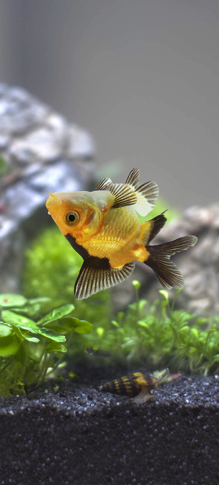 An orange and black aquarium fish laying upside down in the middle of an aquarium