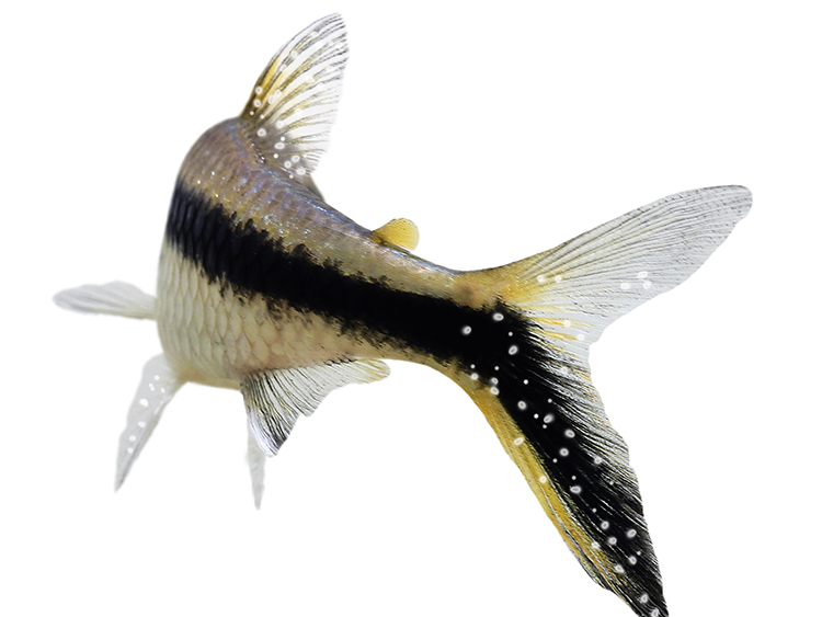 Black and yellow aquarium fish covered with tiny which dots to the fins