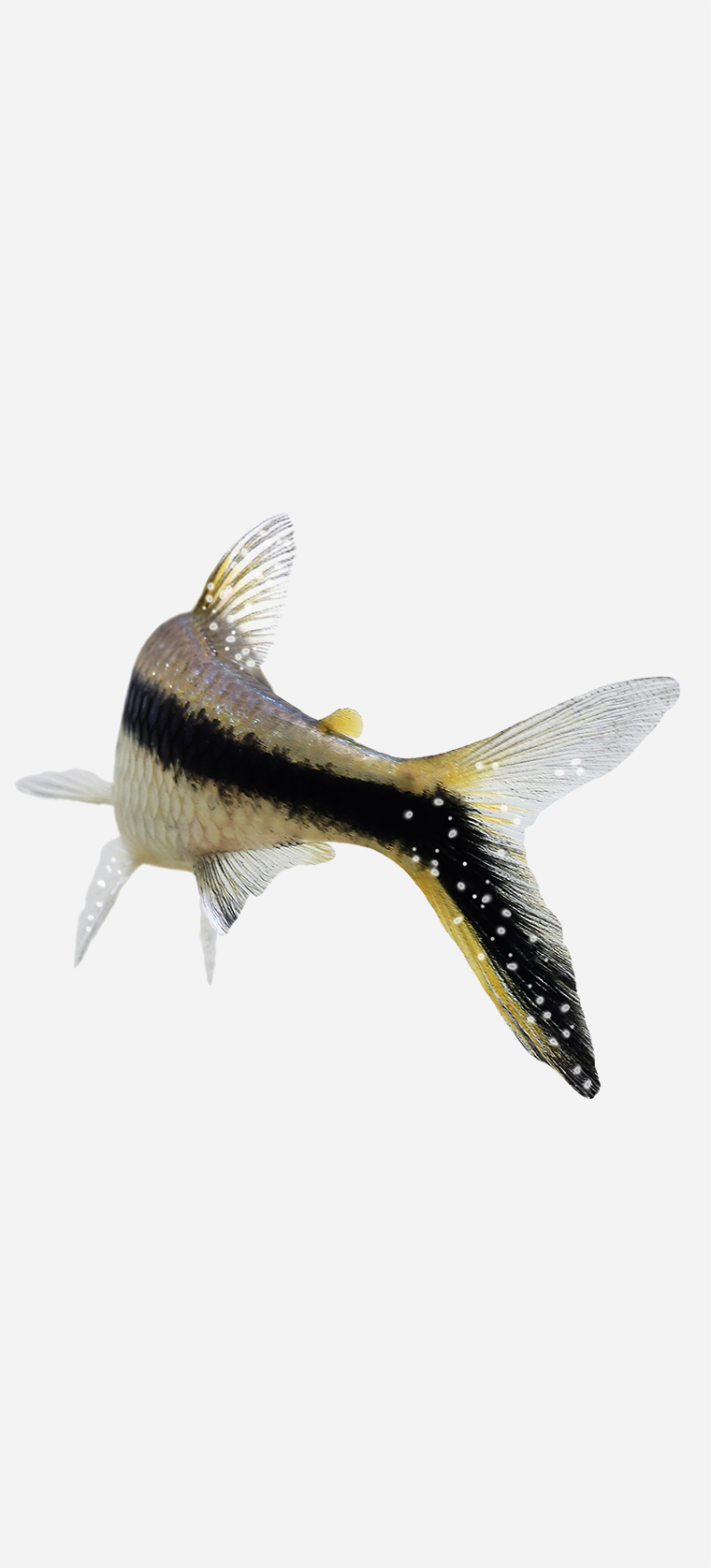 Black, yellow and silver aquarium fish with salt like white specs across it