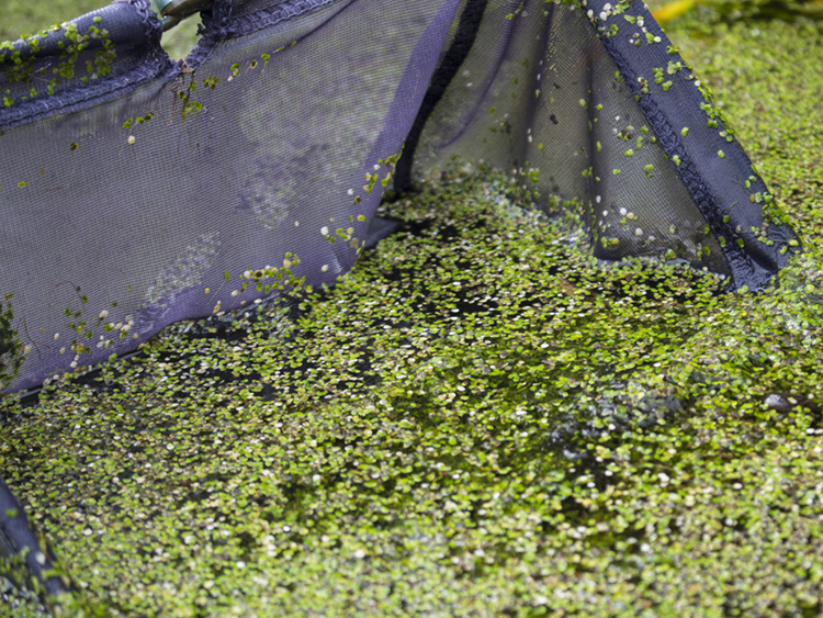 Large black pond net scooping up small green algae leaves out of water