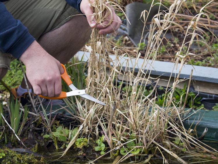 A man cutting away dead, brown grass with orange scissors