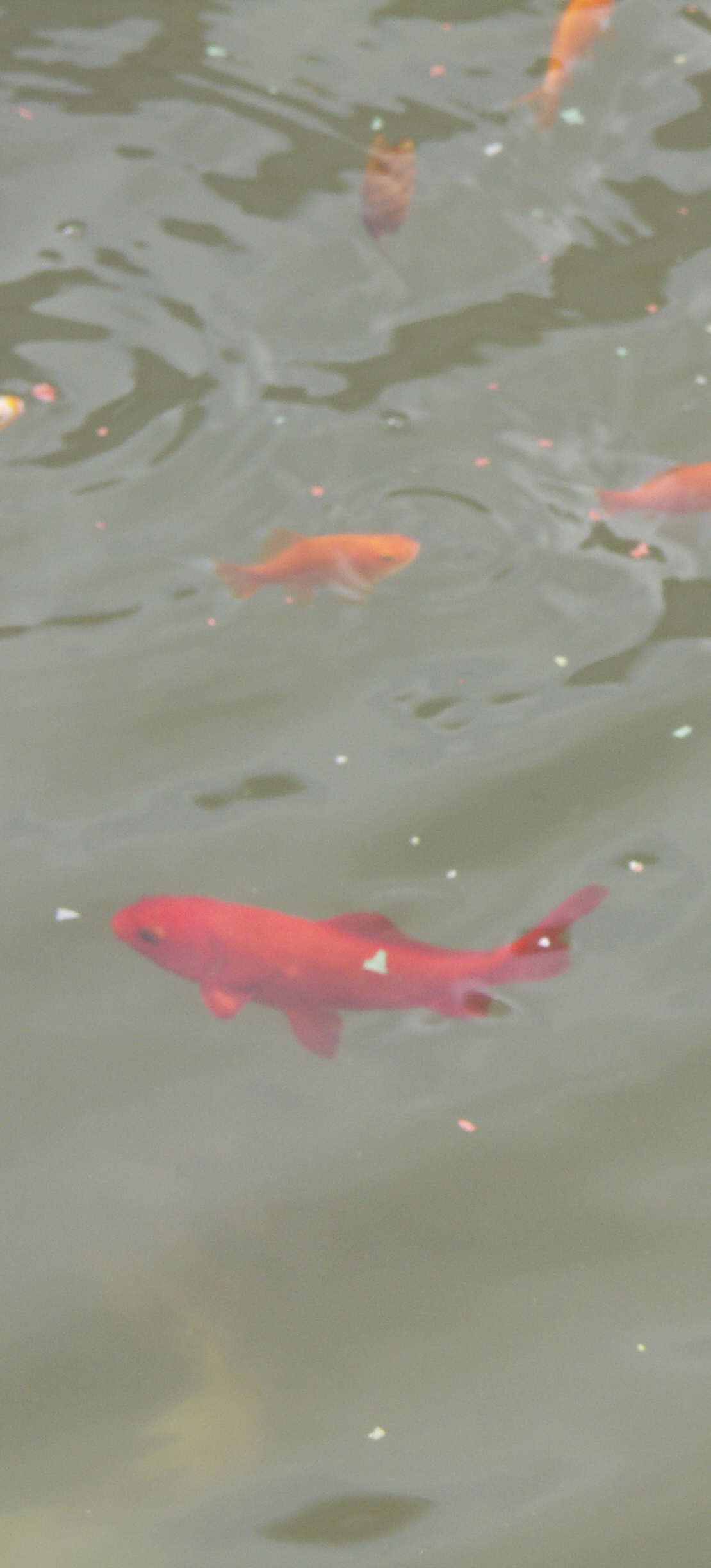 Goldfish in a pond with milky water