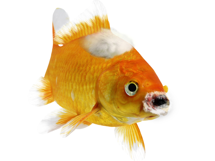 goldfish with fluffy white/grey growths around mouth and body and frayed, tattered fins