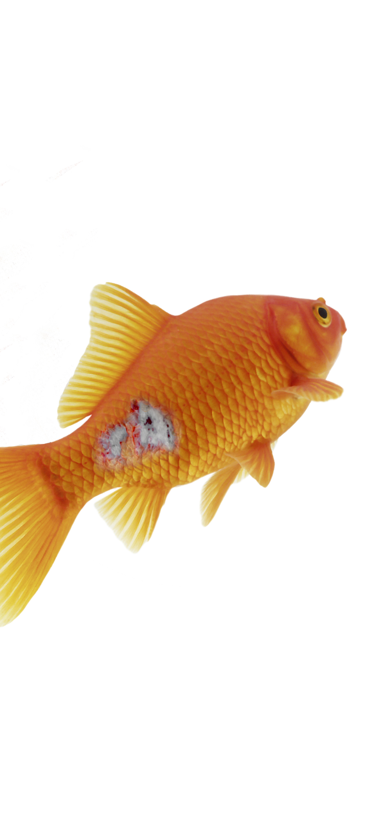 Goldfish with sore red ulcer to its lower body