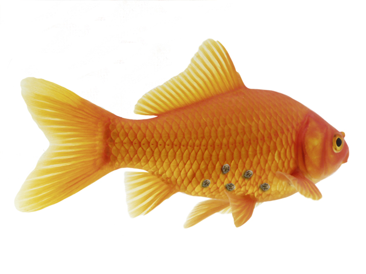 Goldfish with small brown tick like creatures hanging from its belly