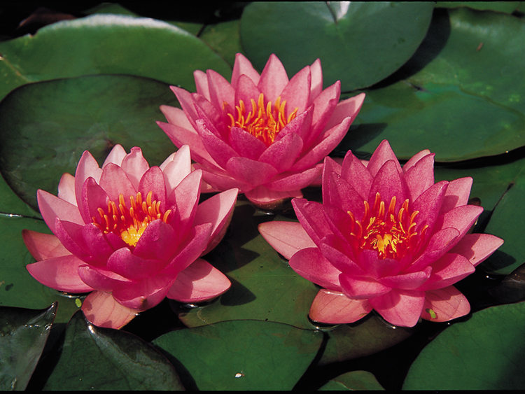 Beautiful pink lilies sitting on a pond