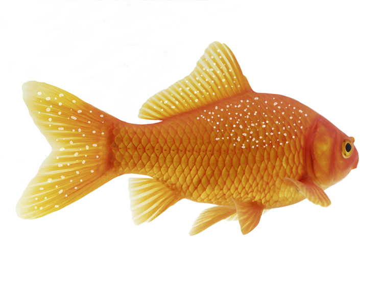 Goldfish with white specks/ a dusting of salt like white spots to its body and fins