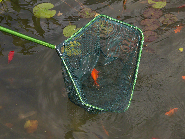 A green pond net removing a dead goldfish from a pond