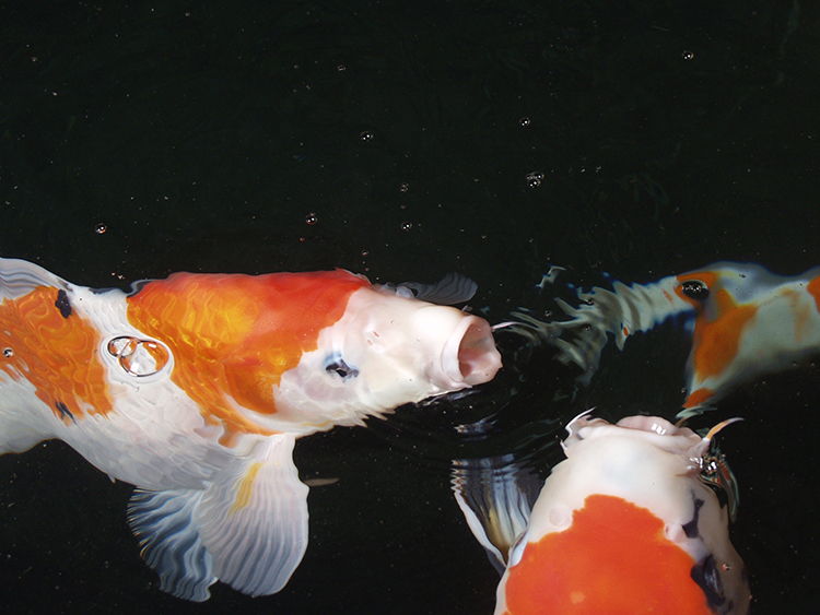 Large orange and white pond fish gasping at the surface of the water