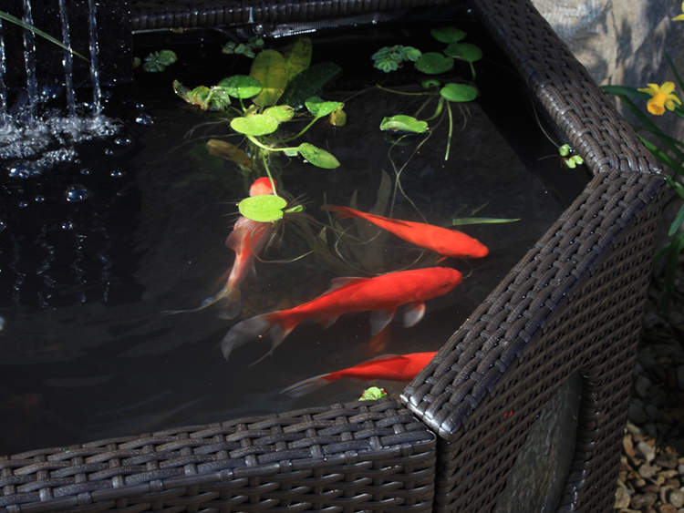 Raised pool with 4 goldfish swimming, brightly coloured and seeming well