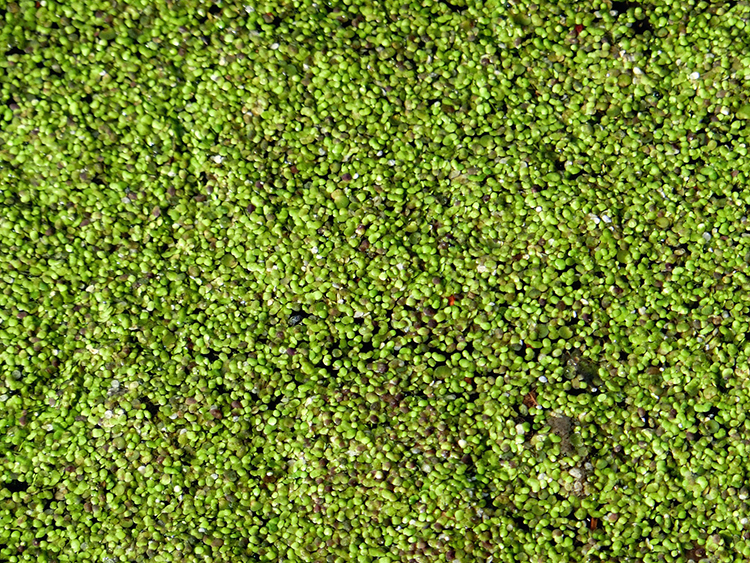 A mass of tiny green leaves covering a stretch of water