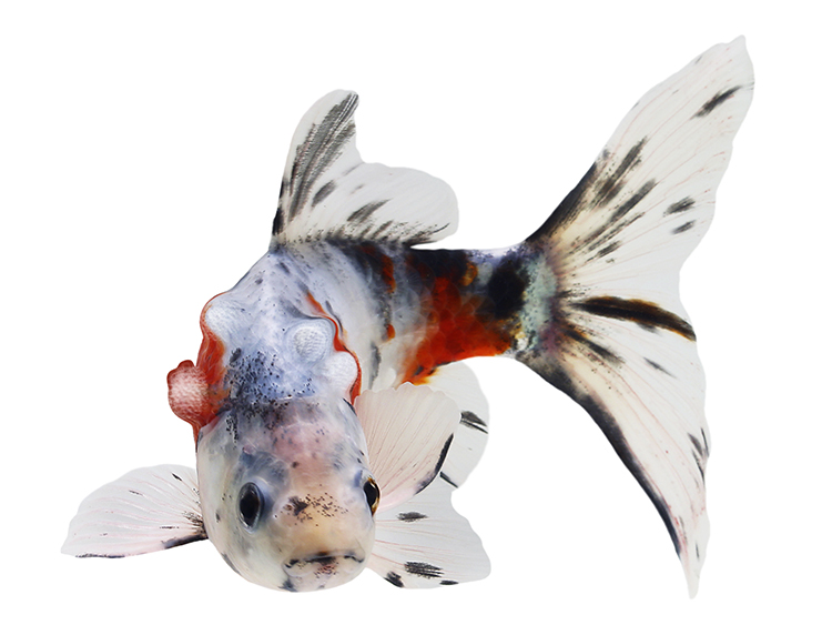 White, black and gold fish with distorted body due to growths and deformities